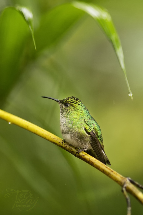 Green-crowned Brilliant ( Heliodoxa jacula)