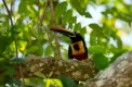 Fiery-billed Aracari ( Pteroglossus...