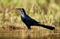 Great-tailed Grackle ( Quiscalus mexicanus)