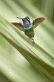 Purple-throated Mountain-gem (Lampornis...